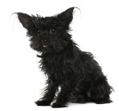 chihuahua 11 rok włosiany stary kudłacący Obraz Stock