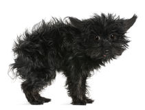 Chihuahua, 11 years old, with tousled hair Royalty Free Stock Images