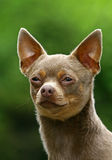 The Chihuahua Stock Photography