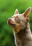The Chihuahua Royalty Free Stock Photography