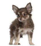 Chihuahua, 12 maanden oud, status Stock Foto