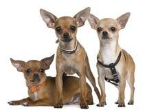 Chihuahua, 12 meses, 12 meses y 6 meses Imagenes de archivo