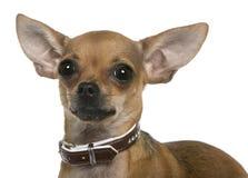 Chihuahua, 12 meses velha, ascendente próximo Foto de Stock
