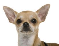 Chihuahua, 12 meses velha, ascendente próximo Foto de Stock Royalty Free