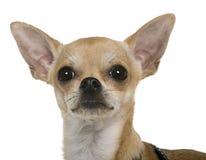 Chihuahua, 12 Monate alte, Abschluss oben Lizenzfreies Stockfoto
