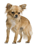 Chihuahua, 12 Monate alte, stehend Stockbild
