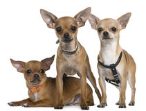 Chihuahua, 12 months, 12 months and 6 months old Stock Images