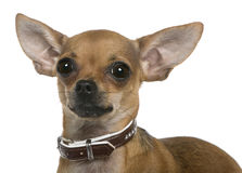 Chihuahua, 12 months old, close up Stock Photo