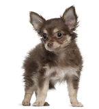 Chihuahua, 12 months old, standing Stock Photo