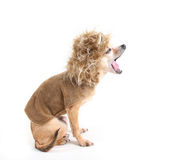 Chihuahua. A chihuahua dog isolated on a white background Stock Photos