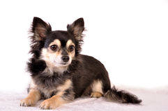 Chihuahua. Isolated on white background Stock Photo