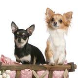 Chihuahua, 14 Monate alte, sitzend im Hundebett Stockfoto