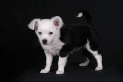 Chihuahua. Long-haired black and white chihuahua puppy royalty free stock photo