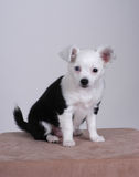 Chihuahua. Long-haired black and white chihuahua puppy royalty free stock photos