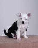 Chihuahua Fotos de Stock Royalty Free