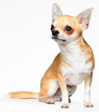 Chihuahua. A Chihuahua sitting with a white background Stock Photo