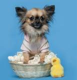 Chihuahua 16 gammala som månader sitter Arkivbild