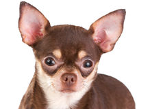 Chihuahua. Short coat chihuahua on a white background Royalty Free Stock Photography