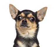 Chihuahua, 17 meses velha Fotografia de Stock