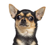 Chihuahua, 17 months old Stock Photography