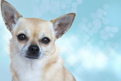 Chihuahua. Portrait of a gold and cream Chihuahua against a blue background Stock Photo