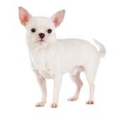 Chihuahua stockbilder