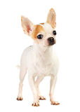 Chihuahua Stock Photo