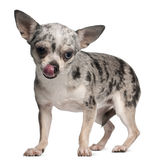 chihuahua 18 που γλείφει τη στάση μηνών Στοκ Εικόνα