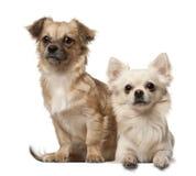 Chihuahua, 18 mesi e cucciolo della chihuahua, 6 Fotografia Stock Libera da Diritti