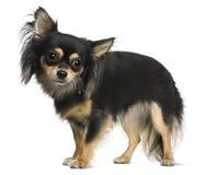 Chihuahua, 18 Monate alte Stockbilder