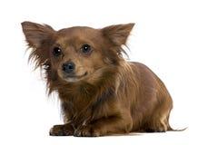 Chihuahua, 18 Monate alte Stockbild