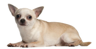 Chihuahua, 18 Monate alte, hinlegend Stockbild