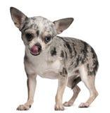 Chihuahua, 18 Monate alte, leckend und steht Stockbild