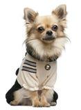 Chihuahua, 18 Monate alte, oben gekleidet und Sitzen Lizenzfreie Stockbilder