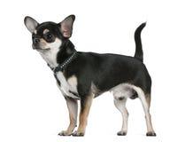 Chihuahua, 18 Monate alte, stehend Lizenzfreies Stockfoto