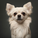 Chihuahua, 18 months old Royalty Free Stock Images