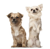 Chihuahua, 18 months old, and Chihuahua puppy, 6 Stock Images