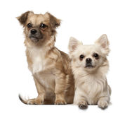 Chihuahua, 18 months old, and Chihuahua puppy, 6 royalty free stock photography