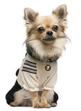 Chihuahua,18 months old, dressed up and sitting Royalty Free Stock Images
