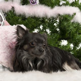 Chihuahua, 18 months old, lying with Christmas Royalty Free Stock Photography