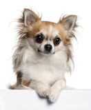 Chihuahua, 18 months old, sitting Stock Image