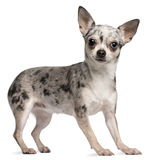 Chihuahua, 18 months old, standing Stock Photography