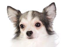Chihuahua Royalty Free Stock Photography