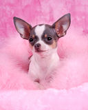 Chihuahua. Photo of an Chihuahua breed dog Royalty Free Stock Images