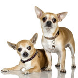 Chihuahua (2 and 6 years) Stock Photography