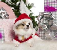 Chihuahua, 2 anni, con l'albero di Natale Fotografia Stock Libera da Diritti