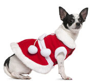 Chihuahua, 2 anni, vestiti in attrezzatura della Santa Fotografia Stock Libera da Diritti
