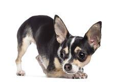 Chihuahua 2 gammala som år bort ser Arkivfoto