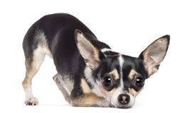 Chihuahua 2 gammala som år ser kameran Arkivfoton
