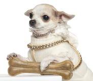 Chihuahua 2 gammala som år sitter Royaltyfria Bilder